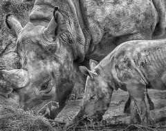 17 08 13_1117 kinsey t bw2js (Photos by Kathy) Tags: cincinnatizoo animals nature rhino rhinosarus kinsey blackrhinoceros blackandwhite