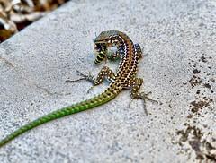 Predator and prey, Isola di San Pietro (Carloforte), Sardinia, Italy. (Massimo Virgilio - Metapolitica) Tags: reptile italy sardinia isoladisanpietro carloforte prey predator nature