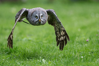 Great Grey Owl on the Wing