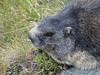 Austria '17 (faun070) Tags: alpinemarmot marmotamarmota murmeltier austria kaiserfranzjozefhoehe kaiserfranzjozefhohe grossglocknerstrasse