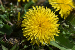 Dandelion Detail (maytag97) Tags: maytag97 dandelion flower plant spring nature background leaf grass two bright outdoors life single sun freshness growth sunlight bloom close up taraxacum season blossom flora petal closeup beauty yellow