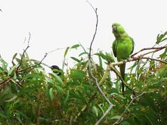 Rose-ringed Parakeet - Madrona Marsh (weezerbee9) Tags: