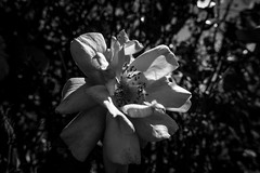 Rose - HMBT (randyherring) Tags: ca glow flower sanjose municipalrosegarden recreation monochrome sunlight garden leaves plant roseflower rose flora california park bloomingflower relaxation outdoor blooming bloom morning green beauty unitedstates us