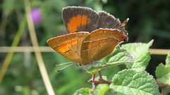 Brown Hairstreak (1) (hedgehoggarden1) Tags: brownhairstreak butterfly lepidoptera insect creature wildlife nature canonpowershotsx50hs bridgecamera canon suffolk