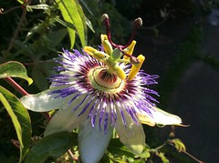 Sunshine after rain (amanda.parker377) Tags: sunshineafterrain england gardenflowers beauty nature flowers climbers sunshine passiflora passionflower