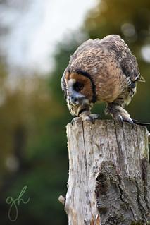 Great Grey Malaysian Wood Owl Hybrid
