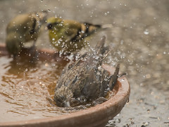 Bathing beauties (Jan.Timmons) Tags: sparrowfledgling goldfinchjuveniles birds boids birdbathofsorts heat smoke red pacificnorthwest jantimmons 7dwfdomingosfauna whythisforthealgorithm