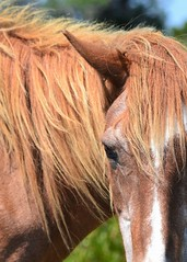 Lazy Summer Day (KaDeWeGirl) Tags: maryland worchester assateague island state park wild horse