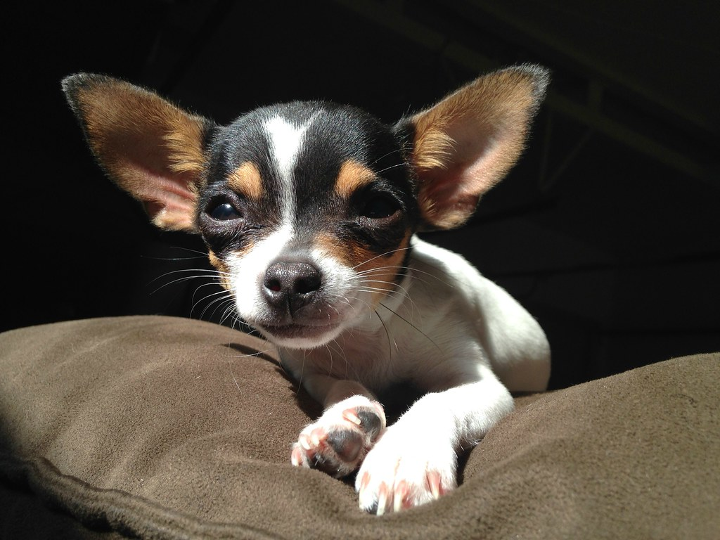 research paper on chihuahua Essays, term papers, book reports, research papers on zoology free papers and essays on dogs and pure breed we provide free model essays on zoology, dogs and pure breed reports, and term paper samples related to dogs and pure breed.