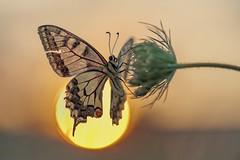 *The sun worshiper II* - *Der Sonnenanbeter II* (albert.wirtz) Tags: albertwirtz dersonnenanbeter butterfly schwalbenschwanz swallowtail nikon d700 macro natur nature natura sunset sonnenuntergang thesunworshiper micronikkor105mmf28 makrofoto summer sommer wildemöhre wildcarrot insect klausen pohlbach klausenpohlbach naturwiese magerwiese meadow reflektor gegenlicht backlight papiliomachaon papilionidae ritterfalter tagfalter offenblende deutschland germany rheinlandpfalz rhinelandpalatinate eifel südeifel moseleifel eifelmosel