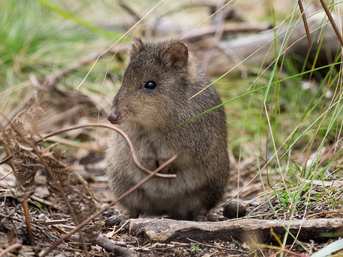 Long-nosed Potoroo (captive)