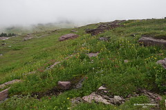 Foggy day in Glacier National Park (Ramola Paulrajan) Tags: foggyday glaciernationalpark nationalpark nature wildflowers rocks mountain jehaneramolaphotography ramolapaulrajantravelphotography roadtrip fog outdoor cliff plants
