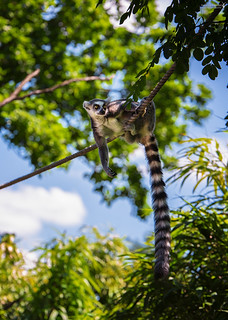 Hanging out for the weekend | Katta - ring-tailed lemur (Lemur catta)