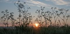 Dawn (Jorden Esser) Tags: limburg dew grass sundawn sunrise waterdrops wildflowers