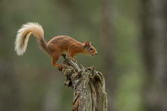 Red Squirrel in the Rain (Markp33) Tags: