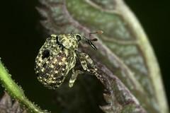 Cionus hortulanus (chug14) Tags: animalia arthropoda hexapoda insecta coleoptera curculionidae curculioninae cionini cionus cionushortulanus unlimitedphotos