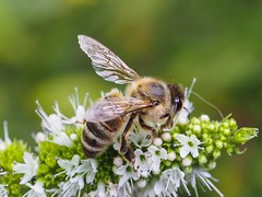 Mint flowers (piranhabros) Tags: summer plant flower mint macro macrophotography animal insect bee