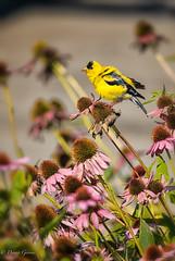 Shake It Off (dngovoni) Tags: meadowlark virginia action bird goldfinch summer wildlife vienna unitedstates us