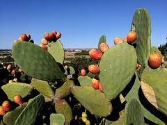 Prickly pear (Thierry GASSELIN) Tags: figue barbarie