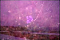 (✞bens▲n) Tags: pentax lx kodak e100sw fa 31mm f18 limited film slide analogue japan nagano multiexposure flower fields