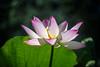 Kenilworth Aqua-063 (Mike L Washington) Tags: lotus nelumbonucifera aquatic flower sacredlotus