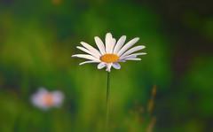"""""""He loves me... he loves me not"""" (L.Lahtinen (nature photography)) Tags: summer finland flora bokeh 7dwf nature nikond3200 naturephotography nikkor55300mm daisy beautyinnature beauty love suomi kesä kukka luonto larissadatsha"""