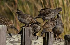 Baby Quail (markvcr) Tags: quail california chicks baby