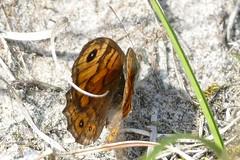 Argusvlinder (jehazet) Tags: borkumargusvlinderlasiommatamegera vlinders butterflies wall jehazet