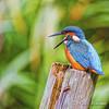 Kingfisher / IJsvogel (rob.bremer) Tags: bird kingfisher ijsvogel commonkingfisher alcedoatthis kennemerduinen karpervijver noordhollandsduinreservaat meertjevanvogelenzang wildlife nature natuur duinen dunes nederland netherlands outdoor