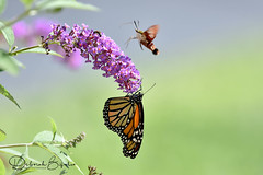 A Meeting on the Buddleia. (Explored) (dbifulco) Tags: explored hemaristhysbe nature budddleia buddleai flight flower flying garden hummingbirdclearwingmoth insect monarchbutterfly newjersey wildlife