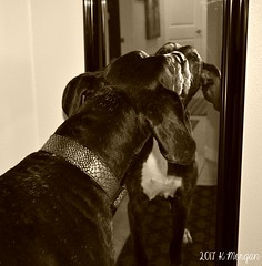 37.52.2017 Mirror Mirror... (kmmorgan1977) Tags: 52wfd2017 52weeksfordogs kkzsapachevegasrose greatdane dog