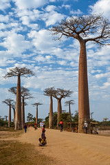 (mdiec) Tags: madagascar africa baobab alley trees kids people road adansonia nature avenue malagasy menabe morondava