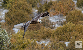 Lammergeier_adult_flight_w_1087