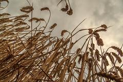 Tall Wheat (Gary Neave.) Tags: wheat