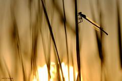 Contre-jour (jpto_55) Tags: contrejour silhouette soleil soleilcouchant proxi xe1 fuji fujifilm fujixf55200mmf3548rlmois hautegaronne france ngc