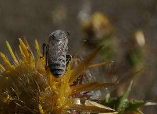 Halictus (Vestitohalictus) pollinosus m