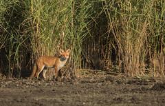 Surprise rouquine (Eric Penet) Tags: animal sauvage faune belgique belgium wallonie wildlife wild marais roselière renard roux fox prédateur predator été août vos