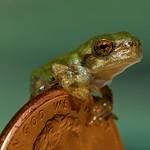 Juvenile Gray Treefrog (Hyla versicolor) thumbnail