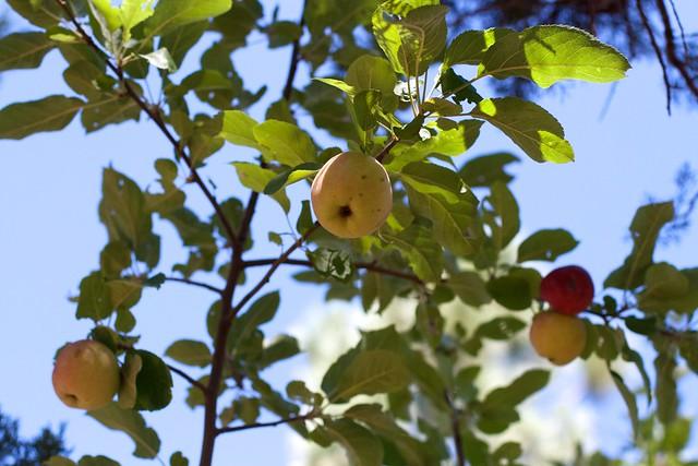 Surprise Apples