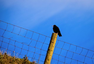 Chough on a post