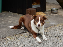 Molly, our Bailey's Sister. (deltrems) Tags: molly baileyssister woodplumpton pet dog welsh border collie lancashire