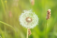 IMG_1096 (bia93snow) Tags: flower dandelion makeawish bokeh