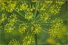Wild Parsnip (Steve4343) Tags: nikon d70s yellow weeds flowers road steve4343 green tennessee abigfave wild parsnip