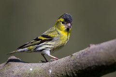 Bad Hair Day #1 (Simon Stobart) Tags: siskin male carduelis spinus head feathers raised branch northeast england coth5 ngc npc