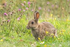 Smelling the Flowers! (Linda Martin Photography) Tags: dorset rabbit animal wildlife longhamlakes uk nature coth ngc coth5
