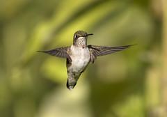 Angelic Hummer...{Explored} (DTT67) Tags: hummingbird bird bif birdinflight tiny small wild wildlife nature summer hovering canon 1dxmkii 500mmii 14xtciii