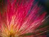 au coeur de l'albizia (Blandine - L) Tags: olympus septembre2016 fleur macro albizia