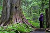 The Ancient Forest (Cariboo Finn) Tags: ancientforest cedar old trees