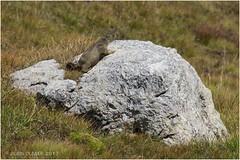 Marmotton de Vanoise