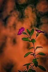 Petunia for slider's sunday (Benny aka WortLichtMaler) Tags: lightroom nikfilter dark contrasts colors processing post fun notserious sliders sunday sliderssunday hss